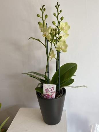 Orchid plant in a pot